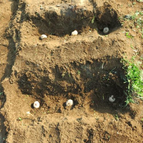 ジャガイモ(馬鈴薯)の育て方