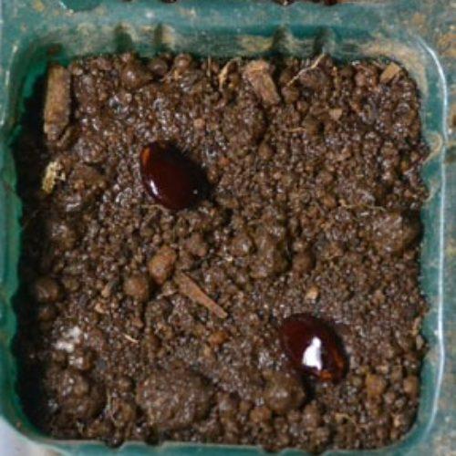 コダマスイカ(小玉スイカ)紅小玉の種まき方法