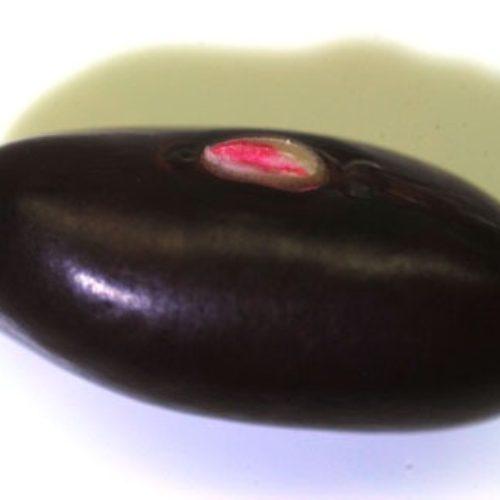 インゲンマメ(いんげん豆)の種まき方法