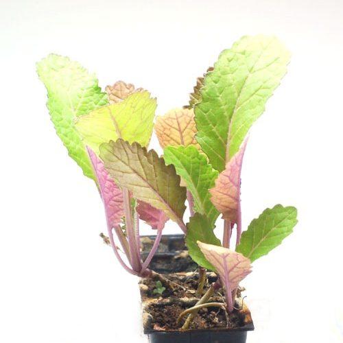 タカナ(高菜)の種まき方法