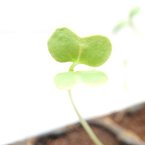 カツオナ(かつお菜)の種まき方法