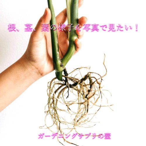 【見れば失敗した原因が分かる】根、茎、葉の様子を写真で見たい!