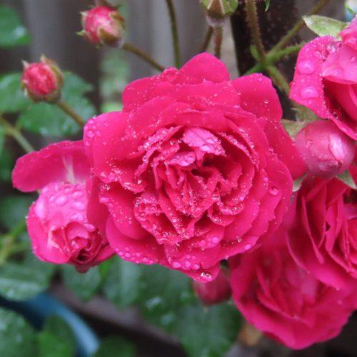 【日本のバラ!?返り咲き?一季咲き?四季咲き?スーパーエクセルサ?】キングローズの育て方